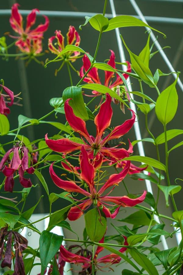 Schitterende Gloriosa - een mooie tropische bloem royalty-vrije stock fotografie