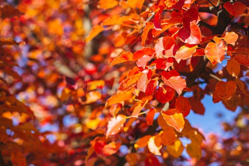 Schitterende herfstboom met rode en oranje bladeren op een zon en blauwe hemel stock afbeeldingen