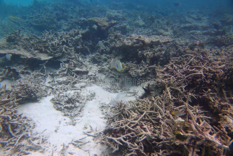 Schitterende mening van onderwaterwereld snorkeling De Maldiven, Indische Oceaan Dode ertsaderkoralen en mooie vissen in blauw wa stock afbeelding
