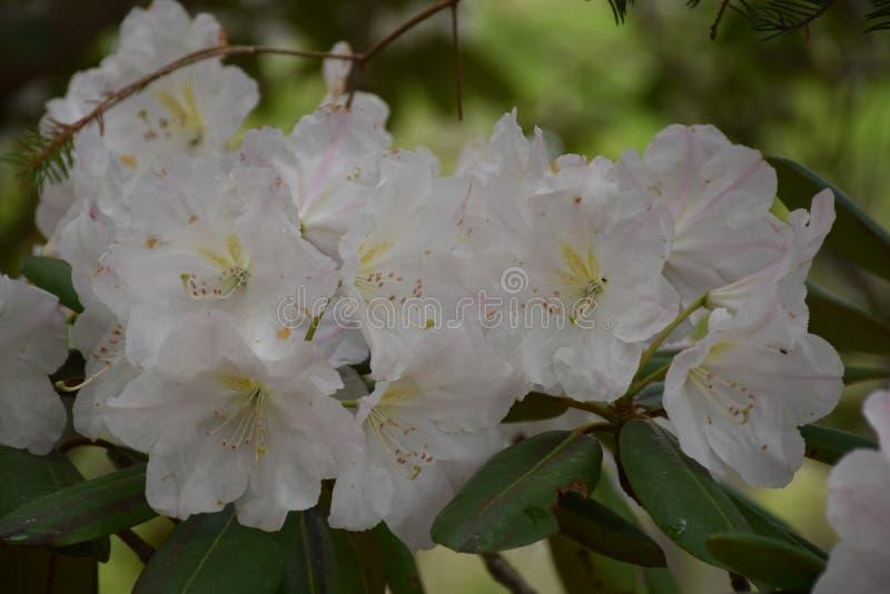 Schitterende omhoog Dicht bekijkt een Bloeiende Witte Rododendron Bush royalty-vrije stock afbeeldingen