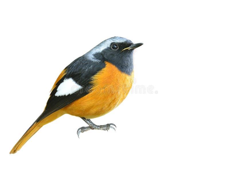 Schitterende oranje vogeltje met zilveren kop en zwarte vleugels, D royalty-vrije stock afbeelding