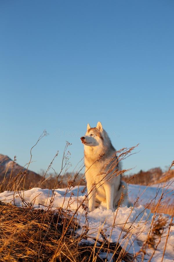 Schitterende, prideful en vrije Siberische Schor hondzitting op de heuvel bij zonsondergang op bergachtergrond stock foto