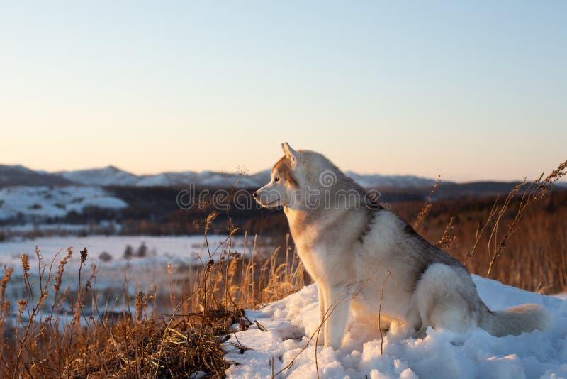 Schitterende, prideful en vrije Siberische Schor hondzitting op de heuvel bij zonsondergang op bergachtergrond royalty-vrije stock afbeeldingen