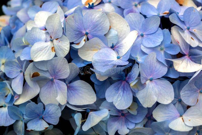Schitterende Purpere Hydrangea hortensia's in de Zonneschijn royalty-vrije stock foto's