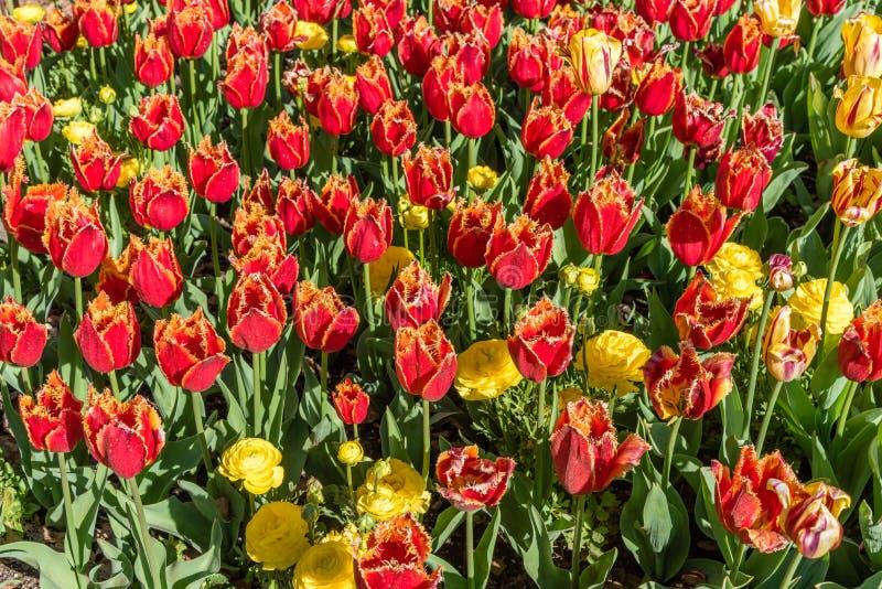Schitterende rode en gele omzoomde tulpen in de lente stock afbeelding