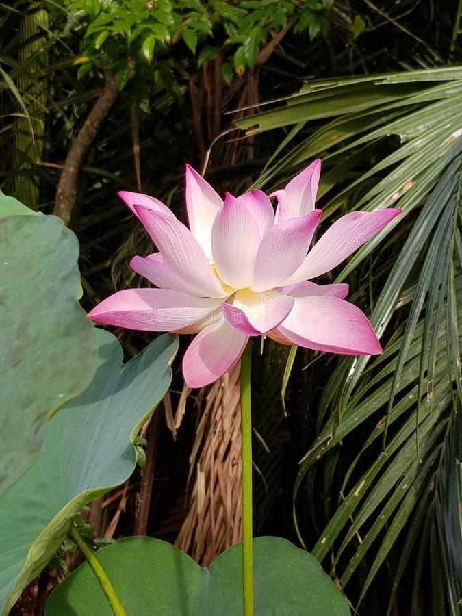 Schitterende Roze Lelie hoofdvietnam stock afbeeldingen