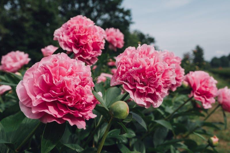 Schitterende roze pluizige pioenbloemen die in de tuin bloeien stock foto's