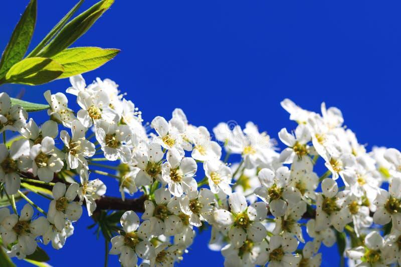Schitterende witte bloemblaadjes op tak van spiraeabloemen, tijdens sprin royalty-vrije stock fotografie