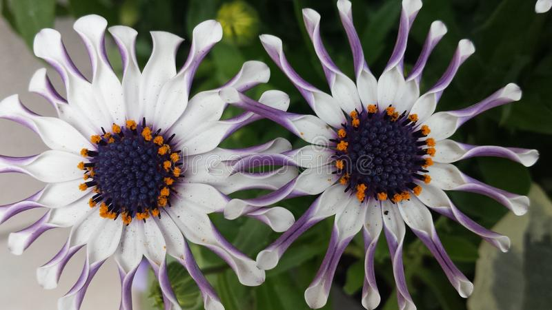 Schitterende witte bloemen stock fotografie