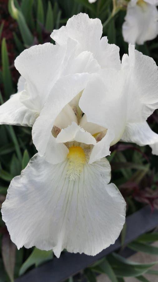 Schitterende witte iris royalty-vrije stock afbeeldingen