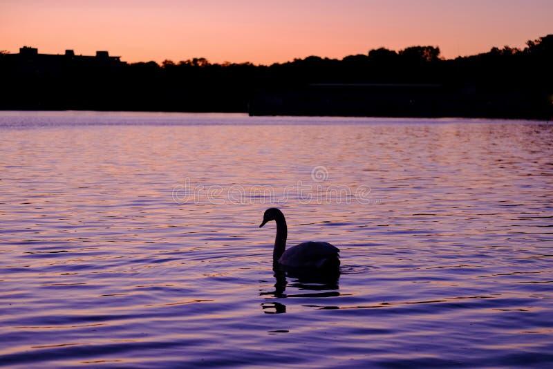 Schitterende witte zwaan op het meer op de zonsondergang royalty-vrije stock fotografie
