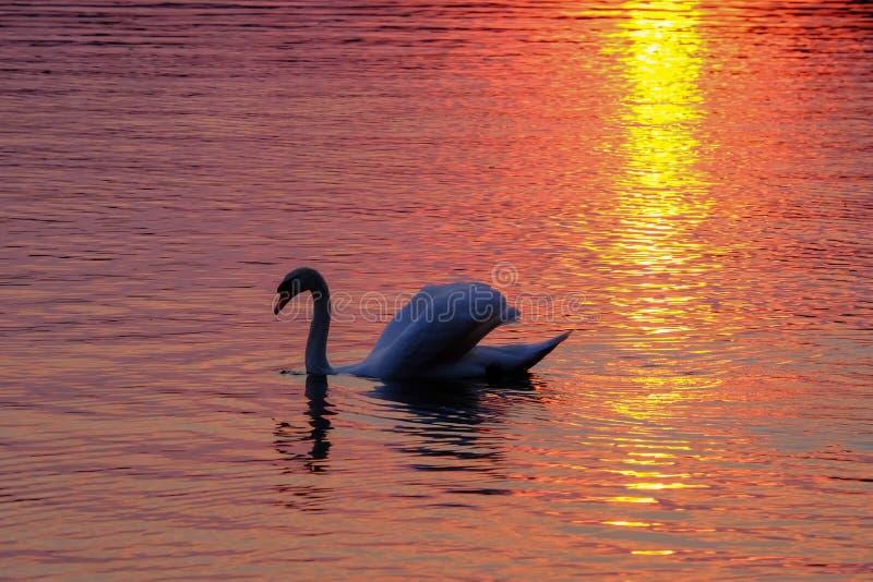 Schitterende witte zwaan op het meer op de zonsondergang stock fotografie