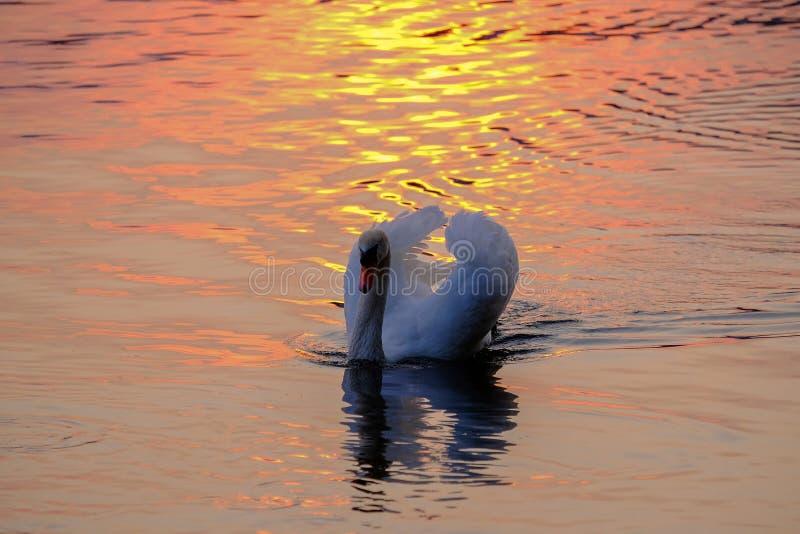 Schitterende witte zwaan op het meer op de zonsondergang royalty-vrije stock foto