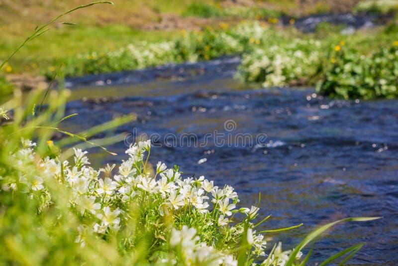 Schiuma dei prati bianca (limnanthes alba) che fiorisce sulle rive di un'insenatura, riserva ecologica della montagna del nord de fotografie stock libere da diritti