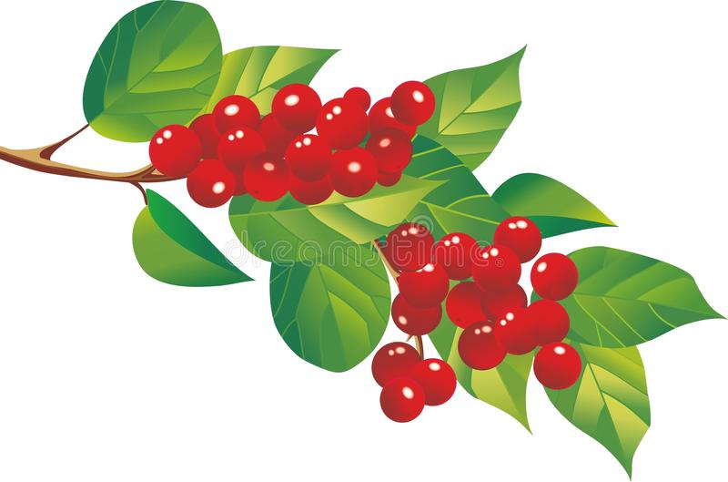 Schizandra莓果 图库摄影