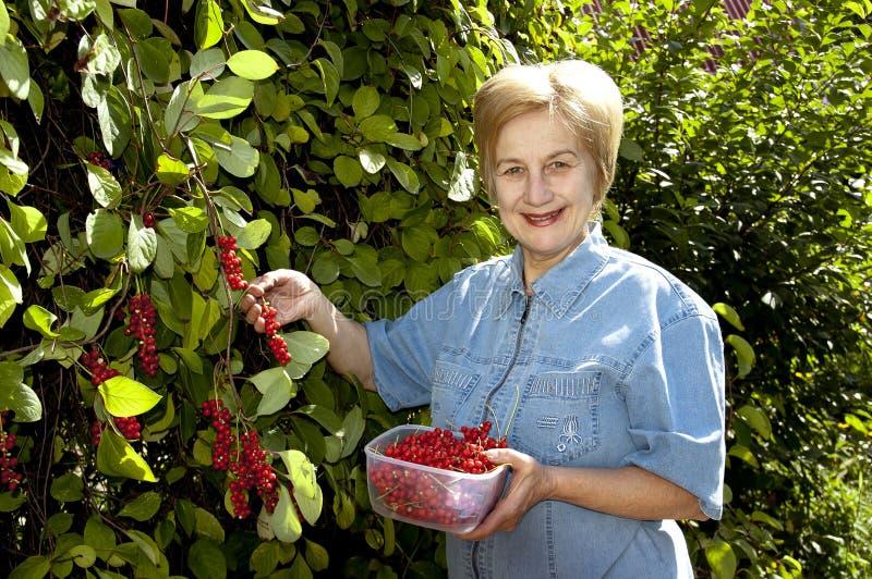 schizandra хлебоуборки ягод стоковые изображения rf