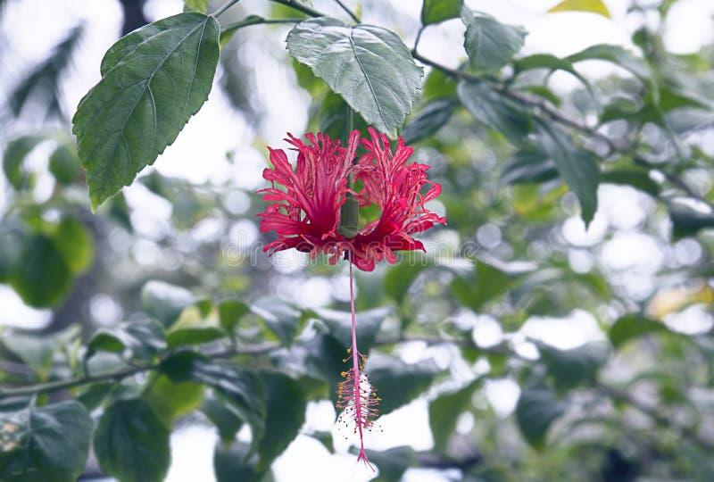 Schizopetalus del hibisco disecado o pendiente de la princesa, arbusto tropical con los lanzamientos de la ejecución, fondo flora foto de archivo