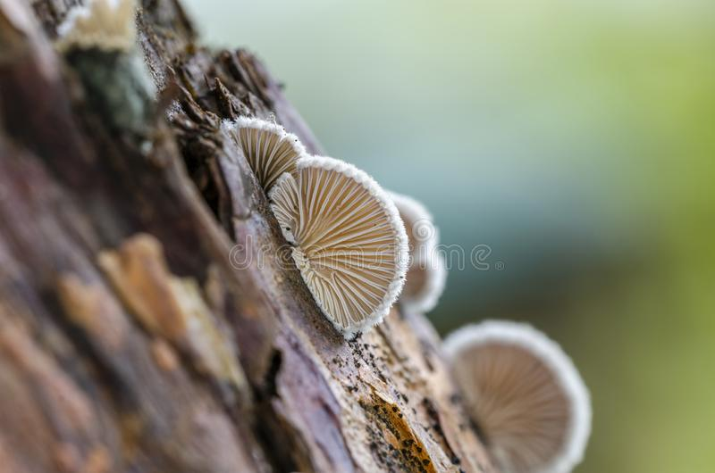 Schizophyllum commune species of gilled fungus. Growing on dead wood. Close up. View from bottom stock photo