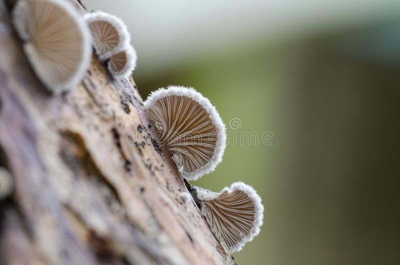 Schizophyllum commune species of gilled fungus. Growing on dead wood. Close up. View from bottom royalty free stock photos