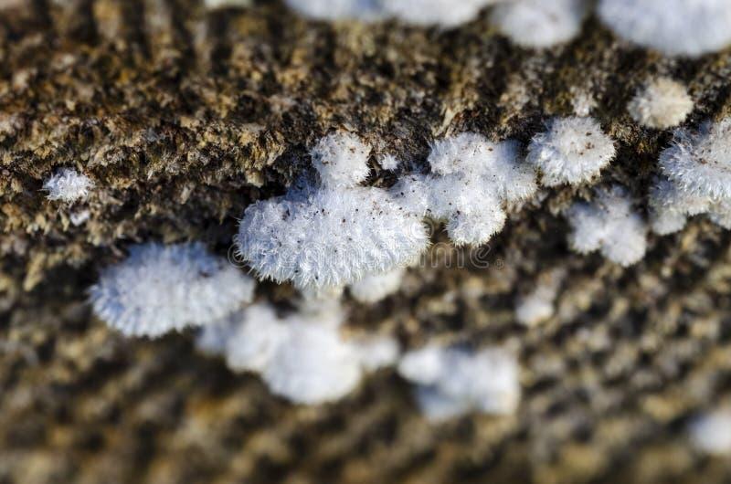 Вид коммуны Schizophyllum gilled грибка стоковое фото rf