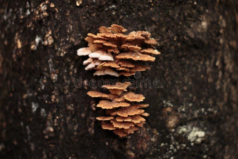 Schizophyllum-Kommunenpilz auf Baum stockfotos