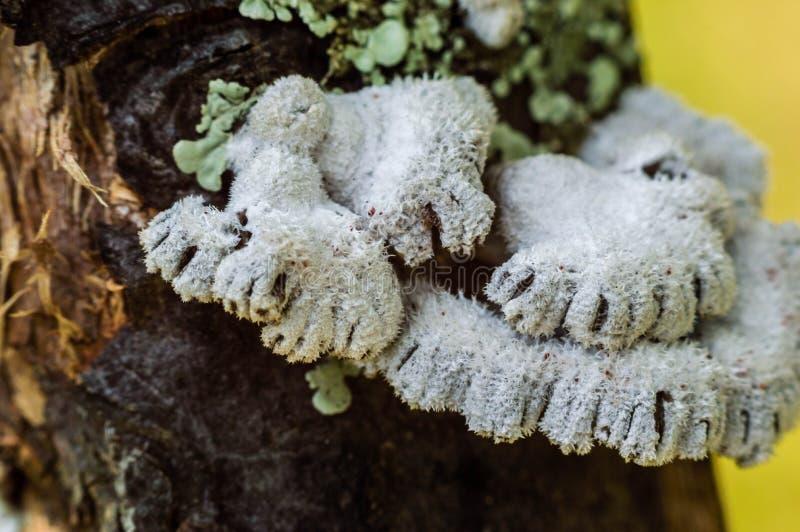 Schizophyllumcommune Fuzzy Fungi op een boom royalty-vrije stock fotografie