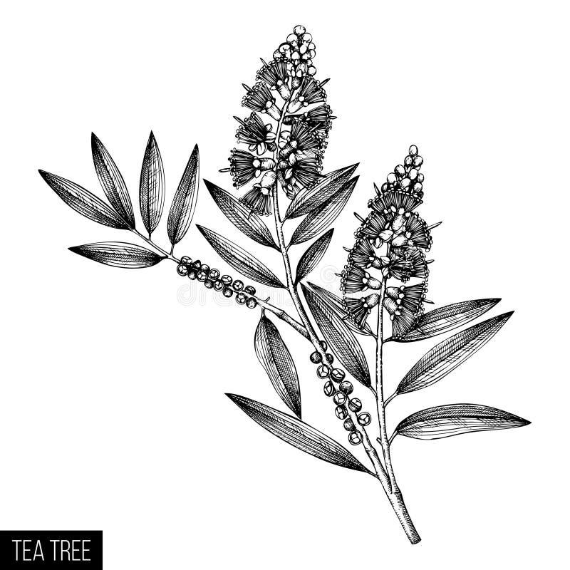 Schizzi verde oliva del tè del tè disegnato a mano dell'albero su fondo bianco Cosmetici e pianta medica del mirto Dott. botanico immagine stock