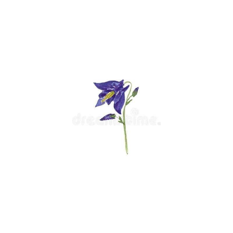 Schizzo botanico dell'illustrazione dell'acquerello del fiore blu di aquilegia su fondo bianco illustrazione vettoriale