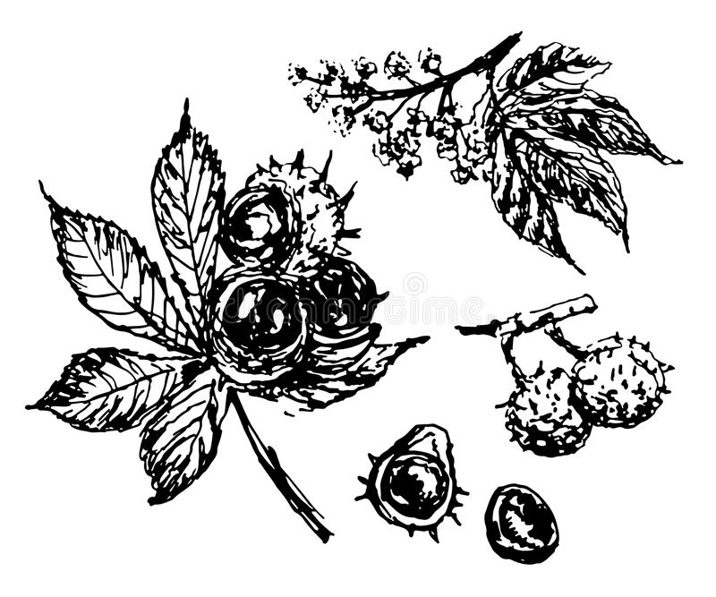 Schizzo del ramo di castagno del disegno, illustrazione disegnata a mano illustrazione di stock