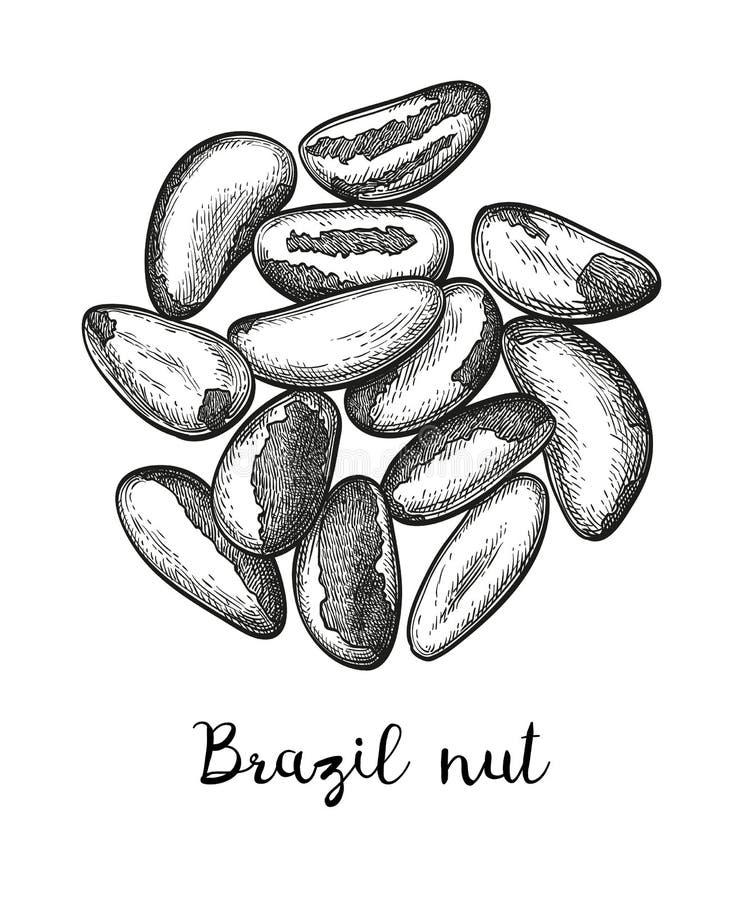 Schizzo dell'inchiostro della noce del Brasile illustrazione di stock