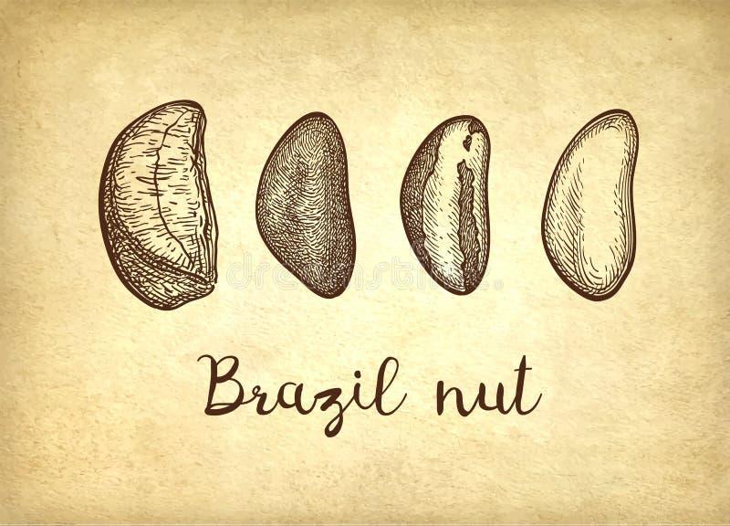Schizzo dell'inchiostro della noce del Brasile illustrazione vettoriale