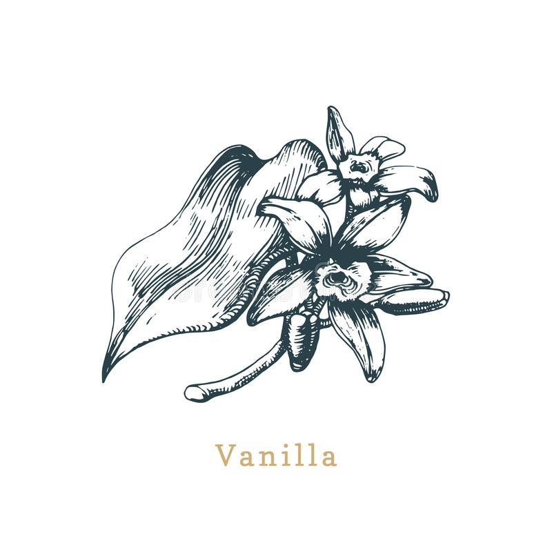 Schizzo della vaniglia di vettore Erba tirata della spezia Illustrazione botanica di organico, pianta di eco Usato per l'autoades illustrazione vettoriale