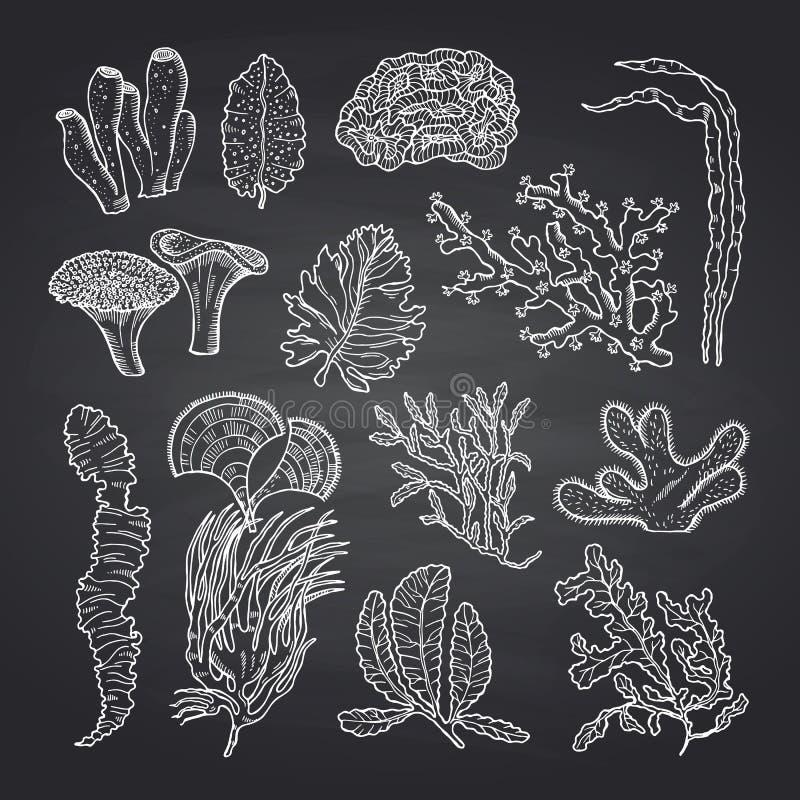 Schizzo delle alghe Alga di vettore messa sulla lavagna nera illustrazione di stock