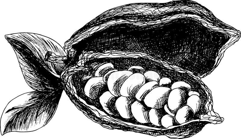 Schizzo delle fave di cacao fotografie stock libere da diritti