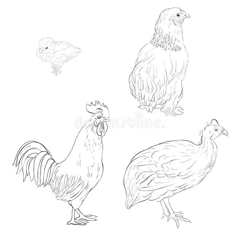 Schizzo di vettore degli uccelli domestici illustrazione di stock