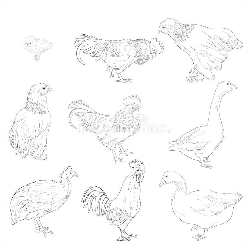 Schizzo di vettore degli uccelli domestici illustrazione vettoriale