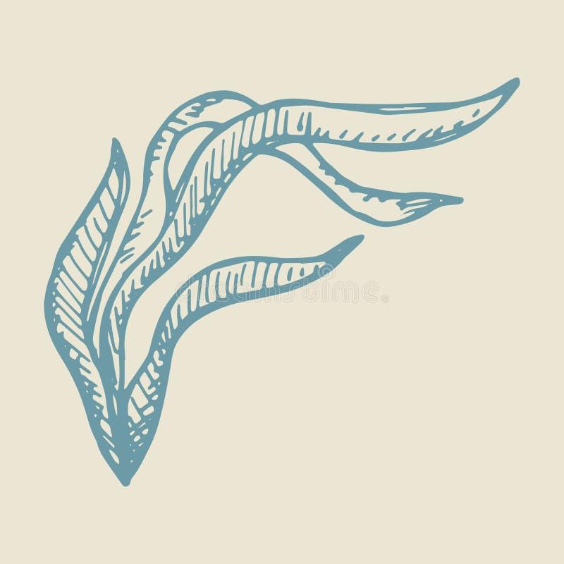 Schizzo di vettore del disegno della mano dell'alga Illustrazione isolata illustrazione di stock