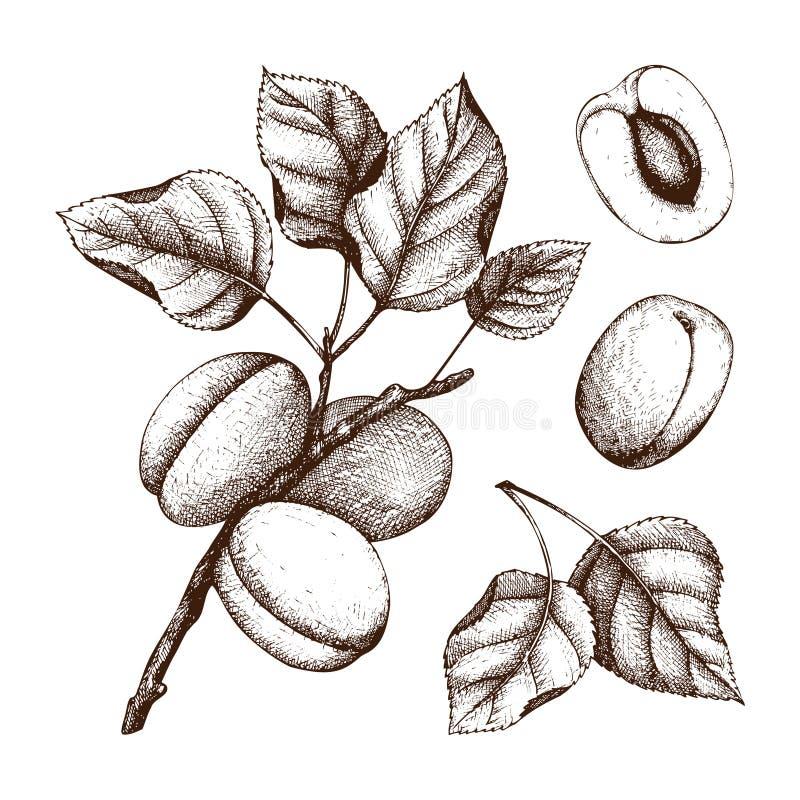 Schizzo disegnato a mano dell'albicocca Frutti e foglie di vettore isolati su bianco Disegno d'annata dell'alimento di estate Ill illustrazione di stock