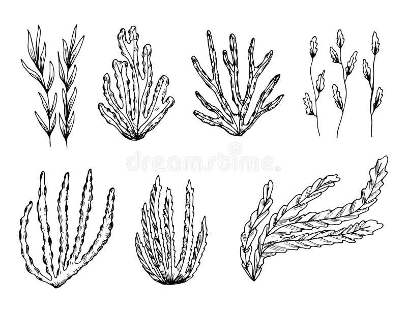 Schizzo marino di vettore delle piante insieme isolato dell'alga illustrazione vettoriale