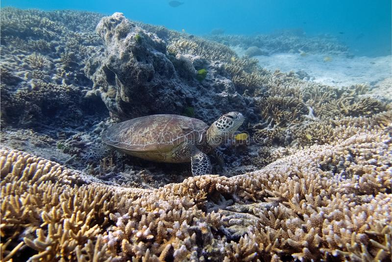 Schläfrige Schildkröte stockbild