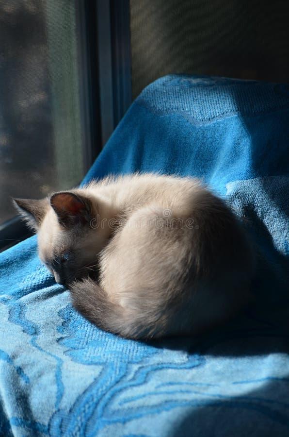 Schläfrige siamesische Kitty Blue Eyed Wonder stockfoto