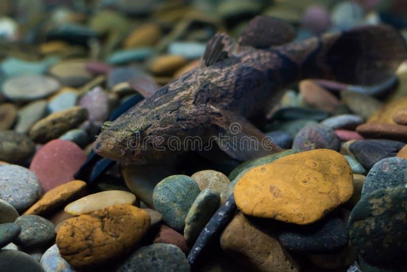 Schläfriger Goby, gemarmorter Lagerschwellenfisch stockfoto