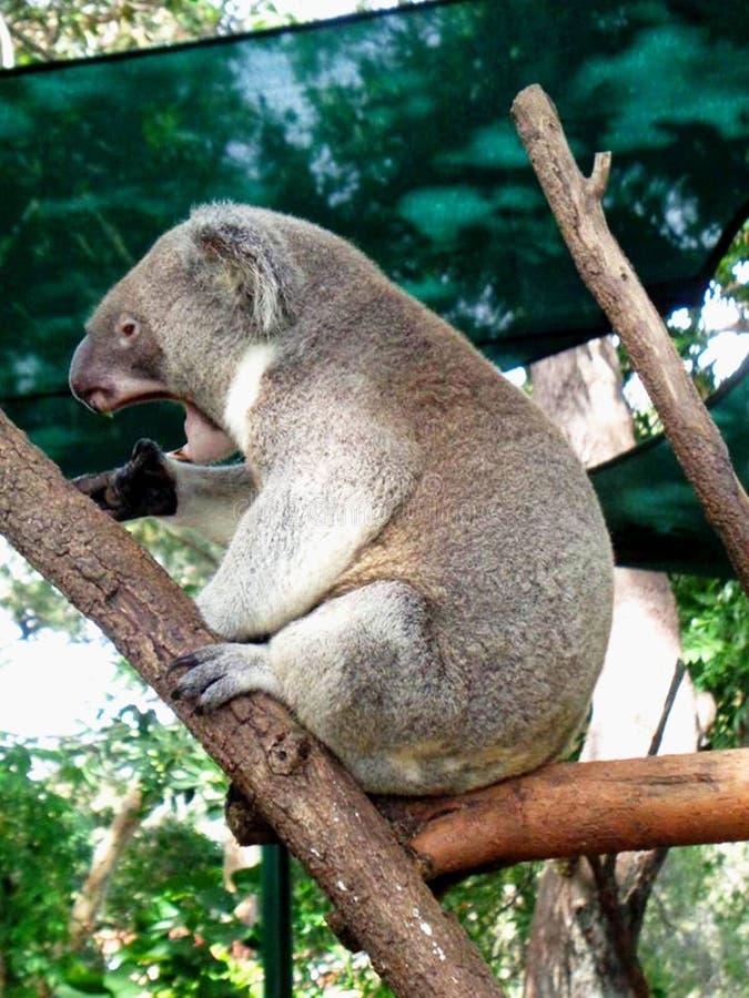 Schläfriger Koala stockfotografie
