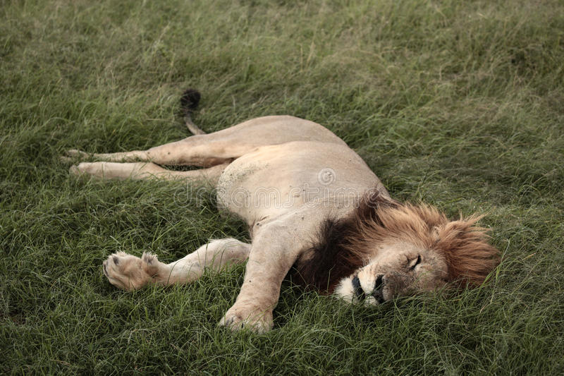 Schläfriger Löwe stockfotos