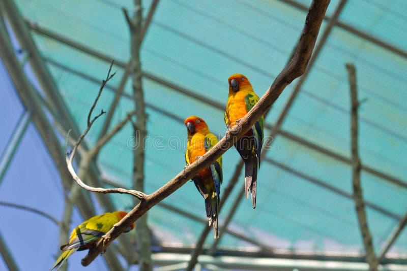 Schläfriger orange Sonne conure Papagei auf einem Baumast lizenzfreies stockfoto
