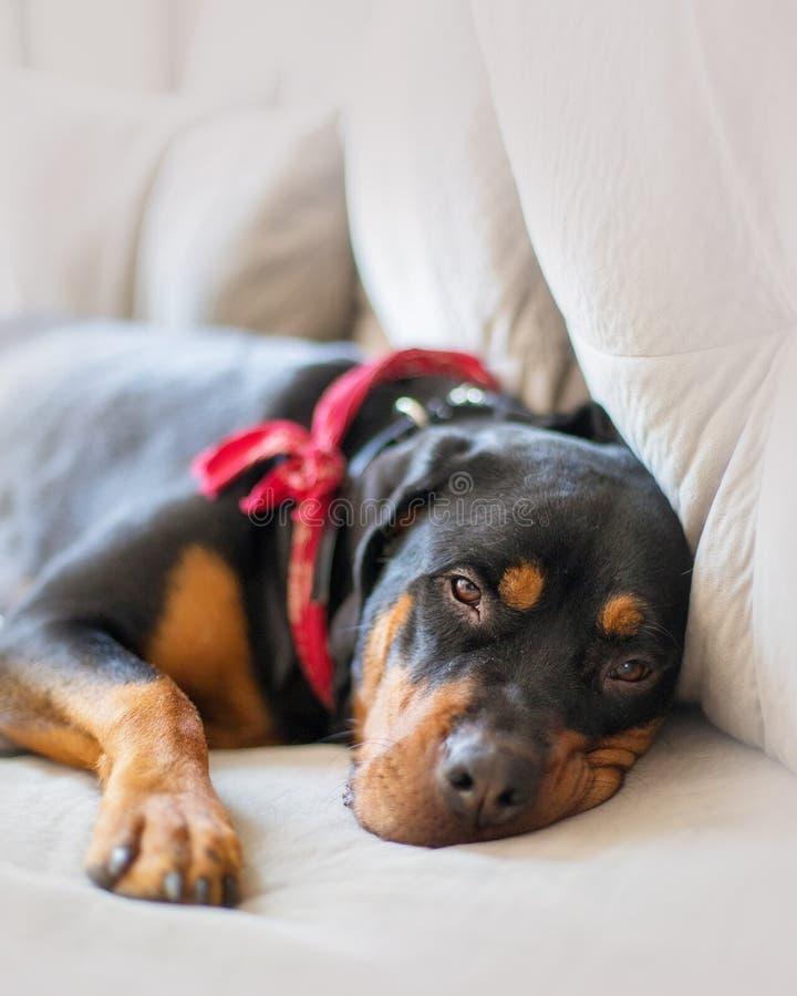 Schläfriger Rottweiler-Hund auf Couch lizenzfreie stockfotografie