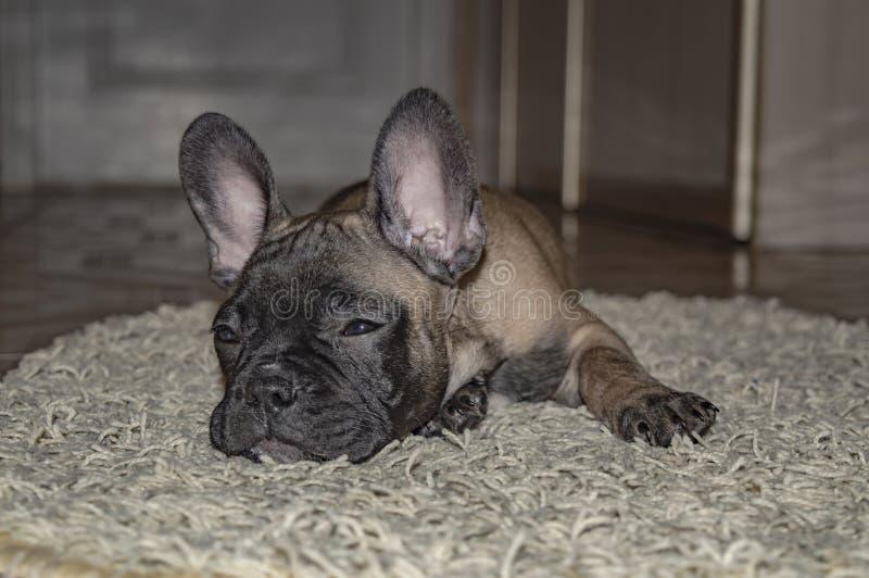 Schläfriger Welpe der französischen Bulldogge liegt auf Teppich stockfotografie