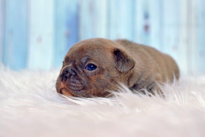Schläfriger 4-Wochen-alter seltener Farbflieder Welpe französischer Bulldogge Hundemit den blauen Augen, die auf weißer Pelzdecke stockfotografie