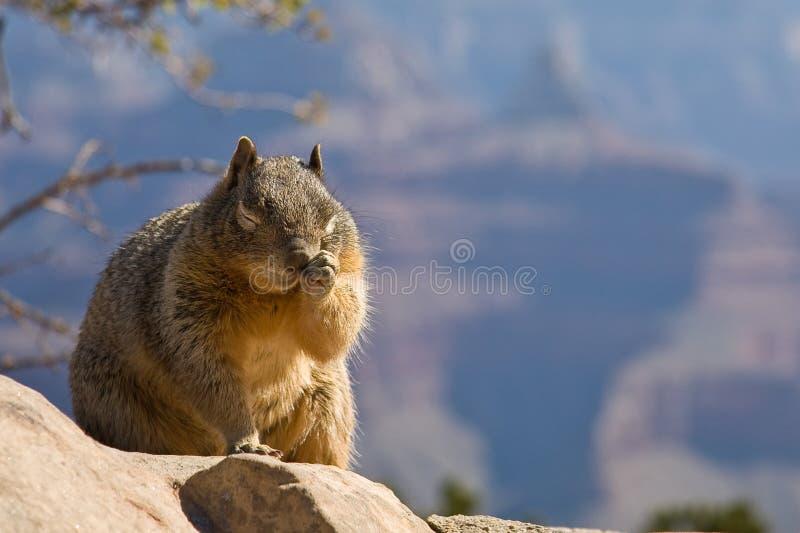 Schläfriges oder juckendes Eichhörnchen stockbild