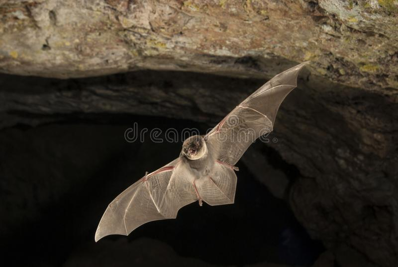 Schläger-Biegung allgemeines miniopterus schreibersii, fliegend in eine Höhle stockfotos